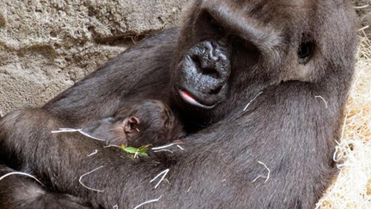 9285e30e6020 Nace una cría de gorila en el Zoo Aquarium de Madrid