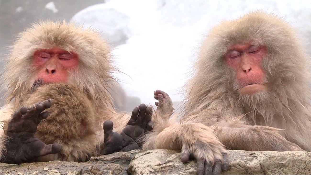 Macaco Japonés El Mono De Las Nieves